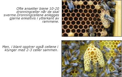 kjønnsorganer hos biene